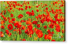 Beauty Red Poppies Acrylic Print by Boon Mee