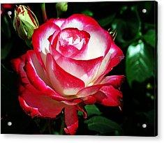 Acrylic Print featuring the photograph Beauty Rose by Joseph Frank Baraba