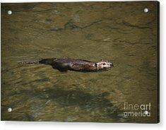 Beaver Swim Acrylic Print