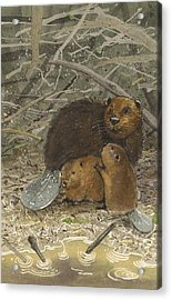 Beavers Acrylic Print by Denny Bond