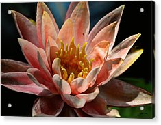 Beckoning The Sun Water Lily Acrylic Print