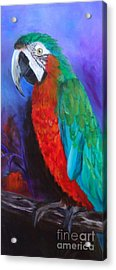 Becky The Macaw Acrylic Print by Jenny Lee