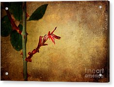 Becomes The Rose Acrylic Print by Ellen Cotton