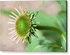 Becoming Echinacea - Acrylic Print