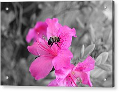 Bee And Azalea  Acrylic Print by Evelyn Patrick