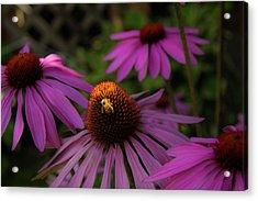 Bee And Coneflower Acrylic Print