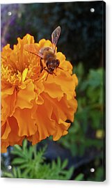 Bee And Marigold Acrylic Print