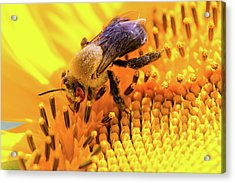 Bee And Sunflower Acrylic Print