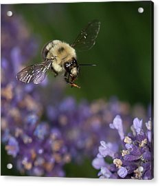 Acrylic Print featuring the photograph Bee Approaches Lavender by Len Romanick