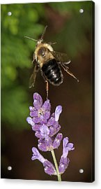 Acrylic Print featuring the photograph Bee Ballet by Len Romanick