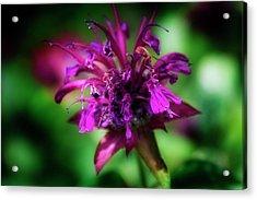 Bee Balm Beauty Acrylic Print
