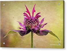 Bee Balm With A Vintage Touch Acrylic Print