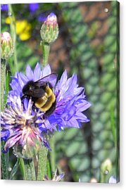 Bee Bee Acrylic Print by Peter Mowry