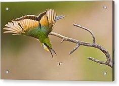 Bee-eater Acrylic Print by Basie Van Zyl