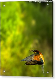 Bee Eater Acrylic Print by Cesare Bargiggia