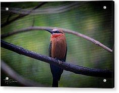 Bee-eater Acrylic Print