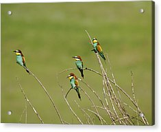 Bee Eaters  Acrylic Print