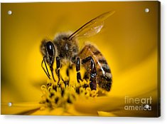 Bee Enjoys Collecting Pollen From Yellow Coreopsis Acrylic Print