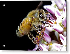 Bee Feeding Acrylic Print