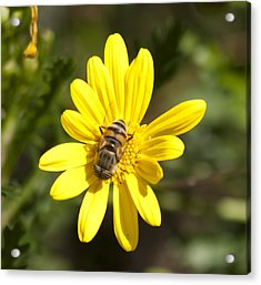 Bee Feeding Acrylic Print