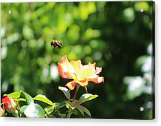 Bee Flying From Peach Petal Rose Acrylic Print