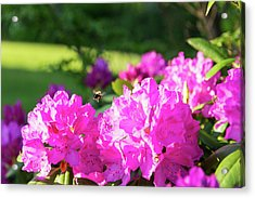 Acrylic Print featuring the photograph Bee Flying Over Catawba Rhododendron by D K Wall