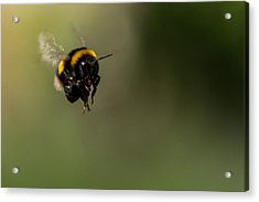 Bee Flying - View From Front Acrylic Print