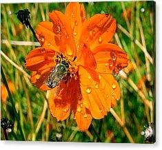 Bee Gathering Pollen On Desert Cosmos Acrylic Print by Merton Allen