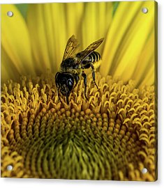 Acrylic Print featuring the photograph Bee In A Sunflower by Paul Freidlund