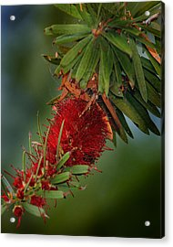 Acrylic Print featuring the photograph Bee In Red Flower by Joseph G Holland