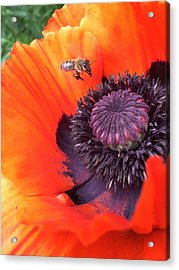 Bee Is Visiting A Poppy Acrylic Print