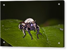 Bee Killer Fly Acrylic Print by Michael Whitaker