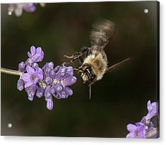 Acrylic Print featuring the photograph Bee Landing On Lavender by Len Romanick