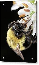 Bee Macro 1 Acrylic Print