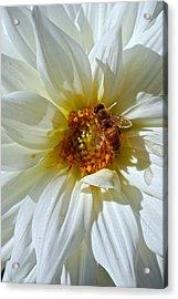 Bee Nice Dahlia  Acrylic Print