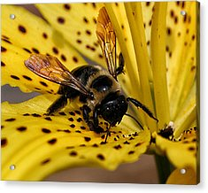Bee On A Lily Acrylic Print