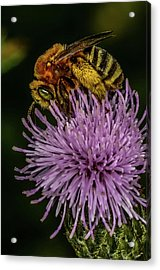 Acrylic Print featuring the photograph Bee On A Thistle by Paul Freidlund