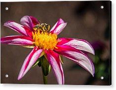 Bee On Dahlia Acrylic Print