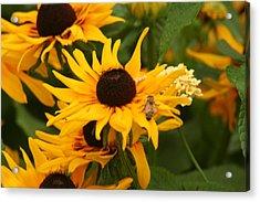 Bee On Daisy Acrylic Print by Eric Irion