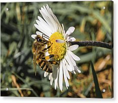 Bee On Flower Daisy Acrylic Print