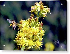 Bee On Goldenrod Acrylic Print