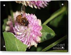 Bee On Gomphrena Acrylic Print by Jeannie Burleson