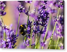 Bee On Lavender Acrylic Print