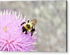 Bee On Pink Bull Thistle Acrylic Print