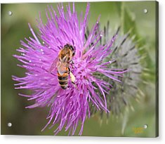 Bee On Purple Thistle Acrylic Print