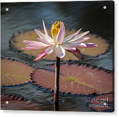 Bee On Waterlily Acrylic Print by Liesl Walsh