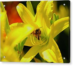 Bee On Yellow Lilly Acrylic Print