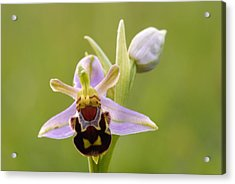 Bee Orchid Acrylic Print by Liz Pinchen