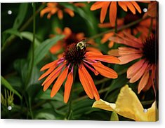 Bee Pollinating On A Cone Flower Acrylic Print