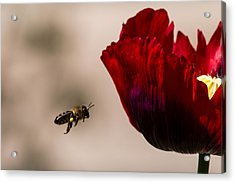 Bee Right Profile Flying To Red Flower Acrylic Print